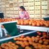 大量批发供应优质清远佛冈沙糖桔/砂糖桔/柑桔