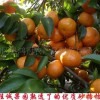 大量供应热销水果批发/清远佛冈\沙糖桔\砂糖桔\橙子
