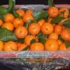 l供应高品质、高质量的  砂(沙)糖橘