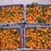 供应广东清远佛冈产地直销10吨起批砂糖桔/沙糖桔