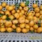 马水桔上市啦!!!本人可以代办、代购、砂糖橘业务,欢迎!